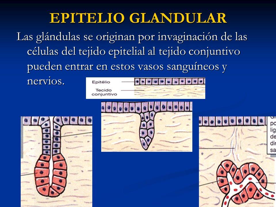 EPITELIO GLANDULAR