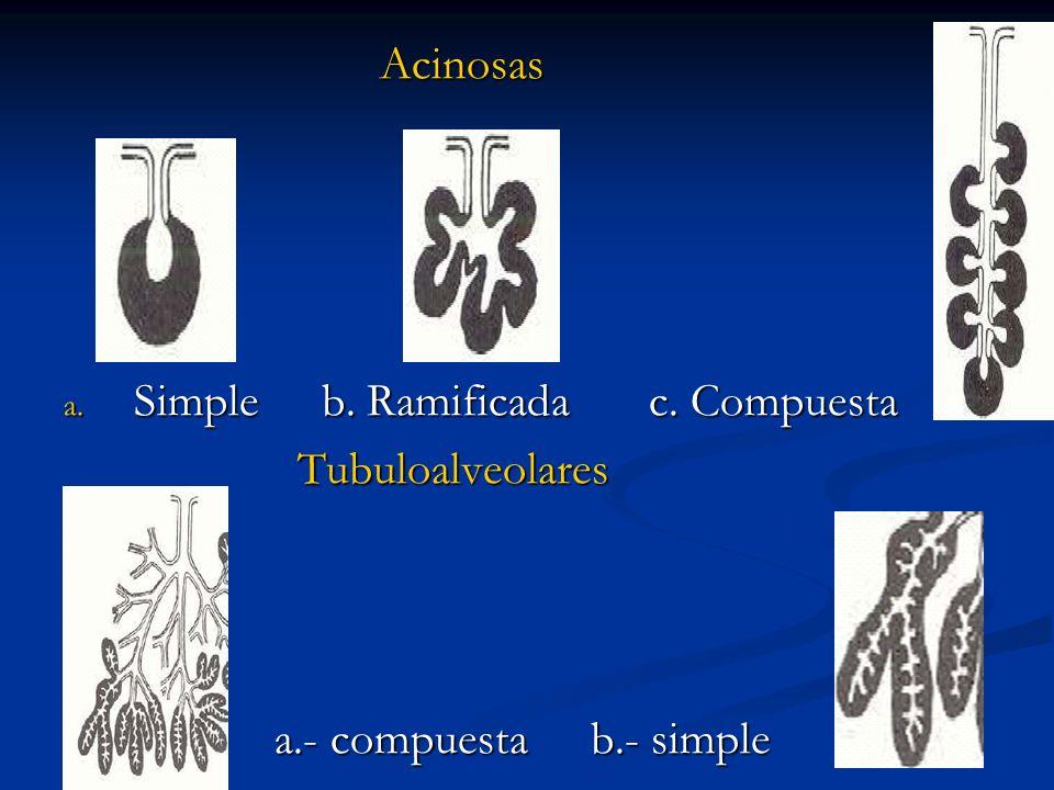 Acinosas Simple b. Ramificada c. Compuesta Tubuloalveolares a.- compuesta b.- simple