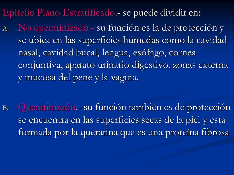 Epitelio Plano Estratificado.- se puede dividir en: