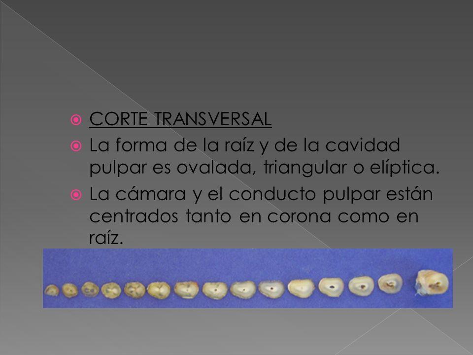CORTE TRANSVERSALLa forma de la raíz y de la cavidad pulpar es ovalada, triangular o elíptica.