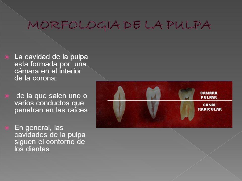 MORFOLOGIA DE LA PULPALa cavidad de la pulpa esta formada por una cámara en el interior de la corona: