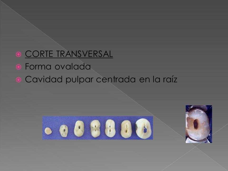 CORTE TRANSVERSAL Forma ovalada Cavidad pulpar centrada en la raíz