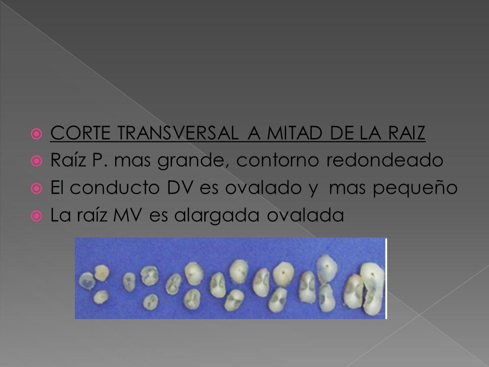 CORTE TRANSVERSAL A MITAD DE LA RAIZ