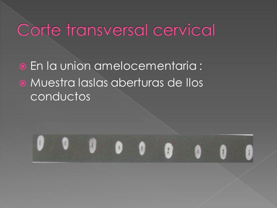 Corte transversal cervical