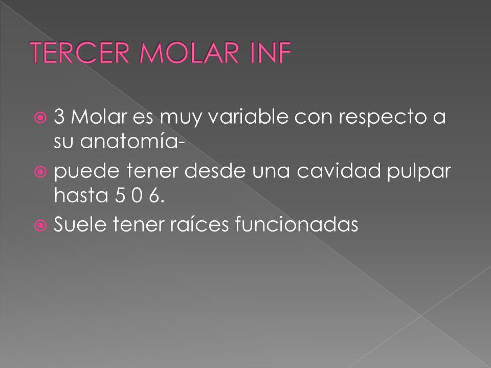 TERCER MOLAR INF 3 Molar es muy variable con respecto a su anatomía-