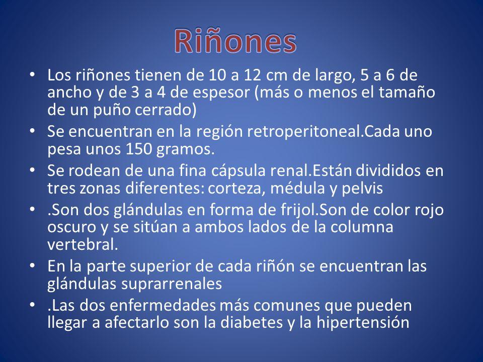 Riñones Los riñones tienen de 10 a 12 cm de largo, 5 a 6 de ancho y de 3 a 4 de espesor (más o menos el tamaño de un puño cerrado)