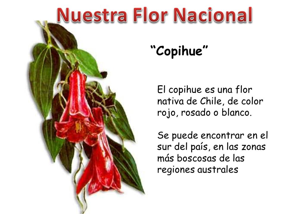 Nuestra Flor Nacional Copihue