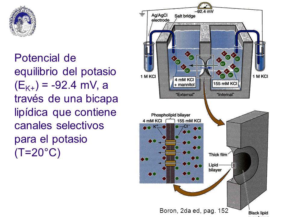 Potencial de equilibrio del potasio (EK+) = -92