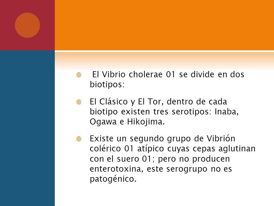 El Vibrio cholerae 01 se divide en dos biotipos: