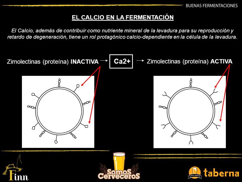 Ca2+ EL CALCIO EN LA FERMENTACIÓN Zimolectinas (proteína) INACTIVA