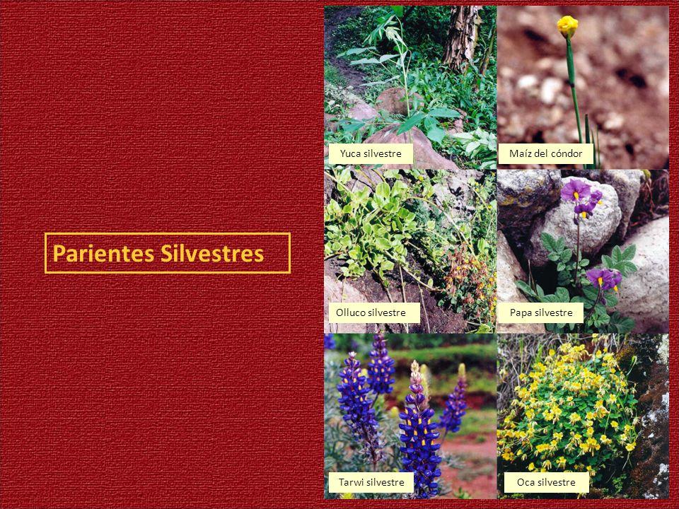 Parientes Silvestres Yuca silvestre Maíz del cóndor Olluco silvestre