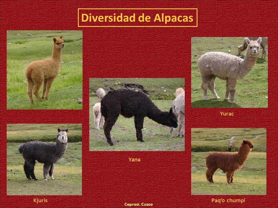 Diversidad de Alpacas Yurac Yana Kjuris Paq'o chumpi Ceprosi. Cuzco