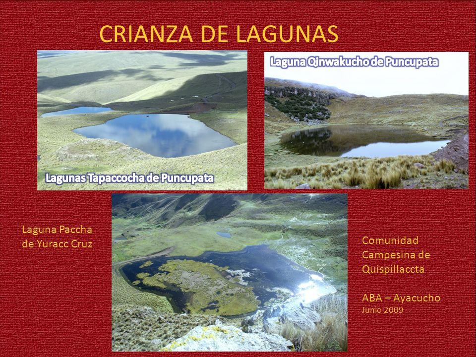 CRIANZA DE LAGUNAS Laguna Qinwakucho de Puncupata