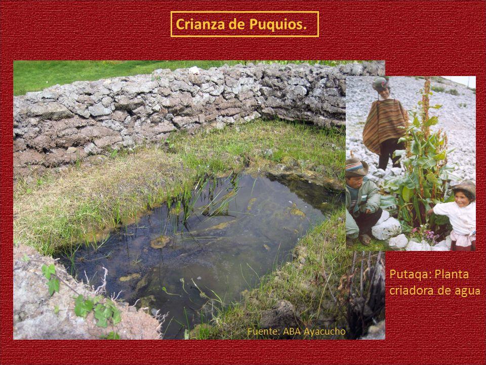 Crianza de Puquios. Putaqa: Planta criadora de agua