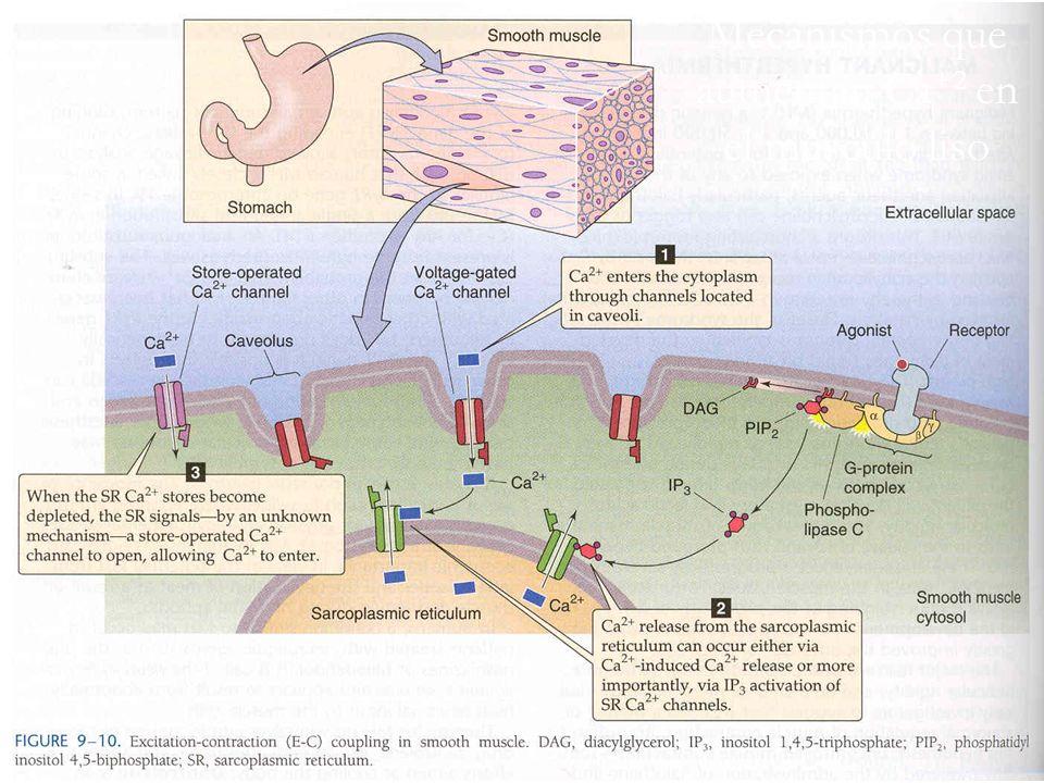 Mecanismos que aumentan Ca+2 en el músculo liso