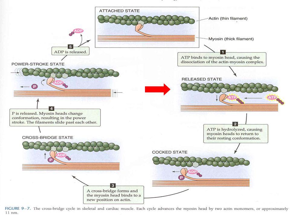 Musc liso Este ciclo ocurre en musc cardiaco y liso aunque en el musc liso es mucho mas lento. 1 décima parte.