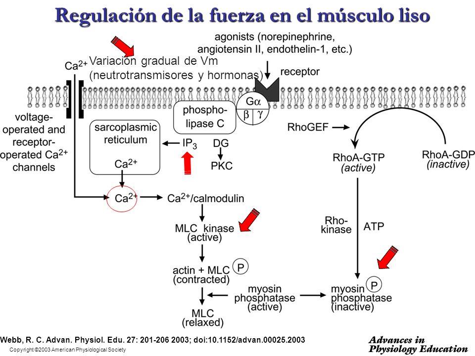 Regulación de la fuerza en el músculo liso