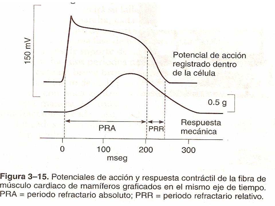 7 Berne: Aumento de Ca se da 20 ms después del PA