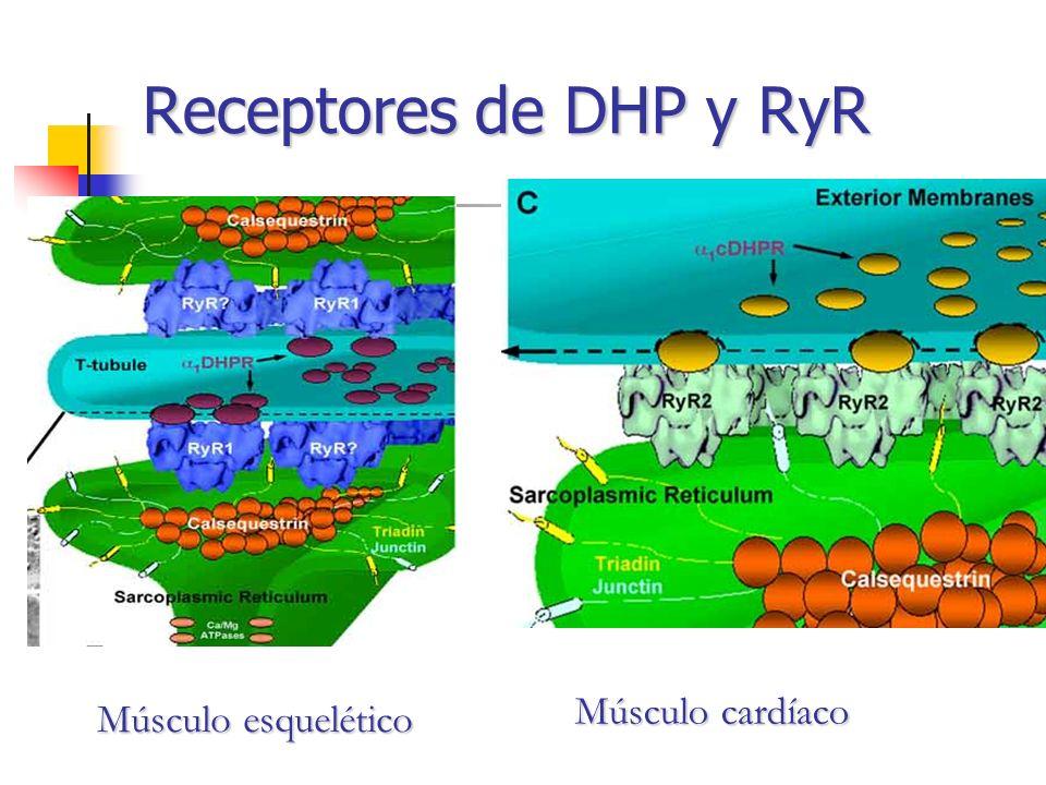 Receptores de DHP y RyR Músculo cardíaco Músculo esquelético