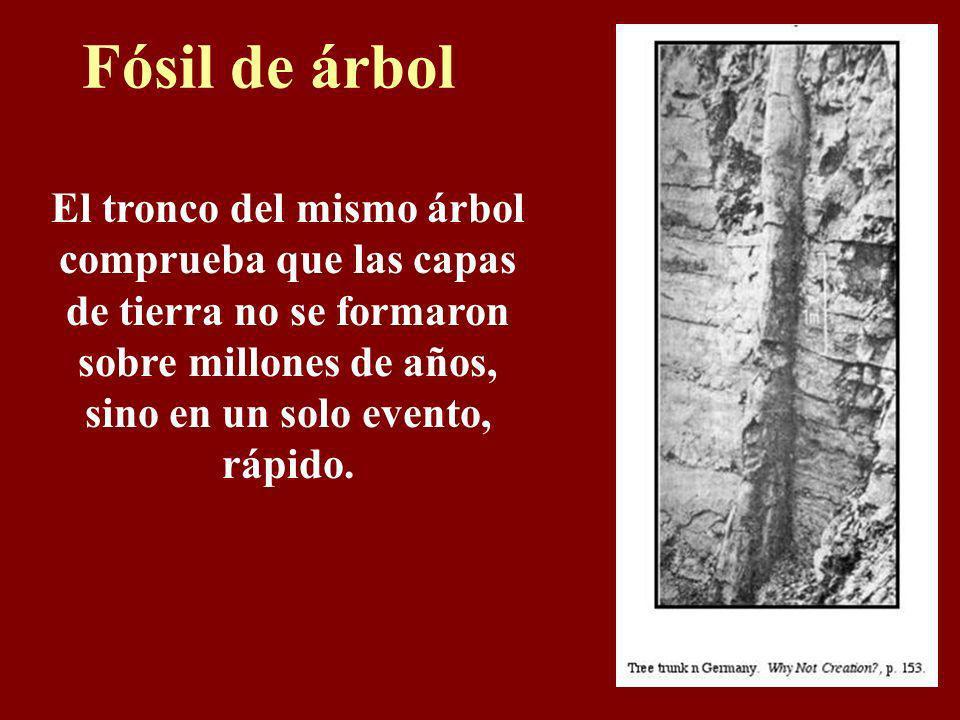 Fósil de árbolEl tronco del mismo árbol comprueba que las capas de tierra no se formaron sobre millones de años, sino en un solo evento, rápido.
