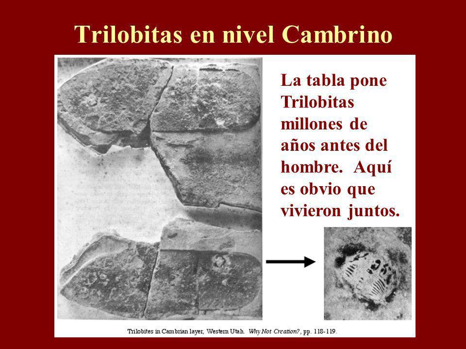 Trilobitas en nivel Cambrino