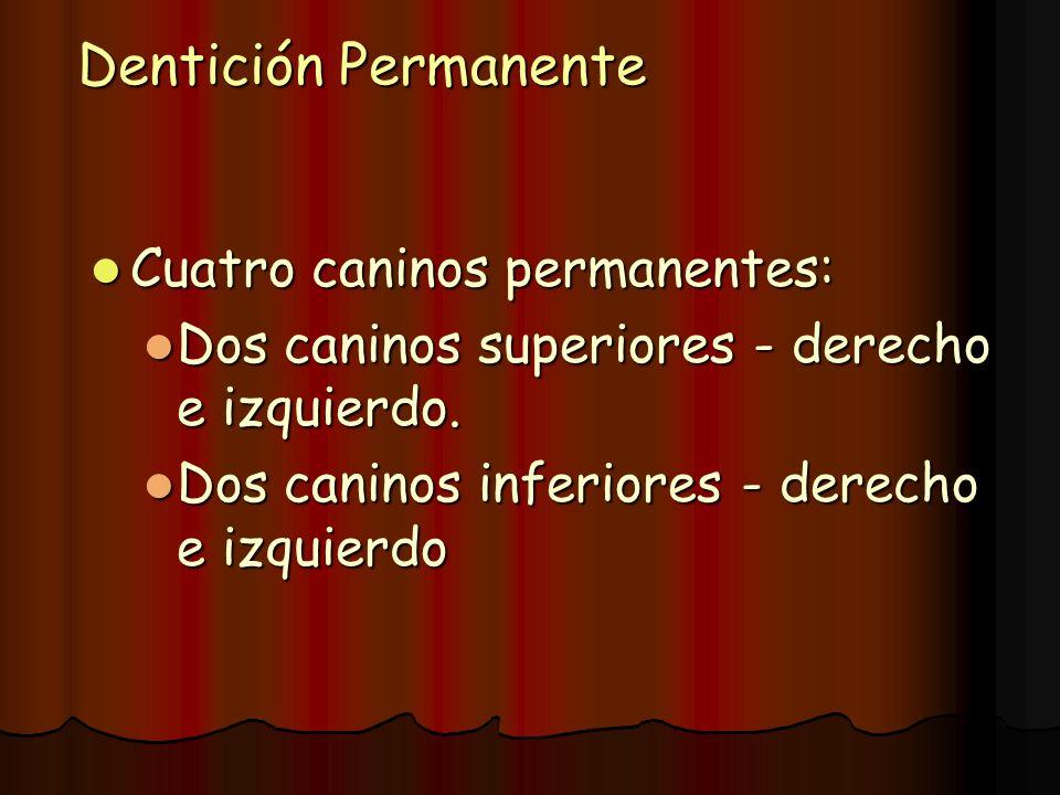 Dentición Permanente Cuatro caninos permanentes: