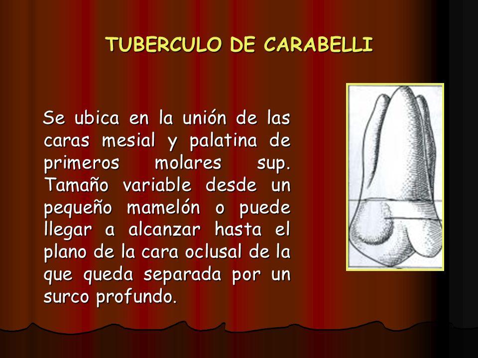 TUBERCULO DE CARABELLI