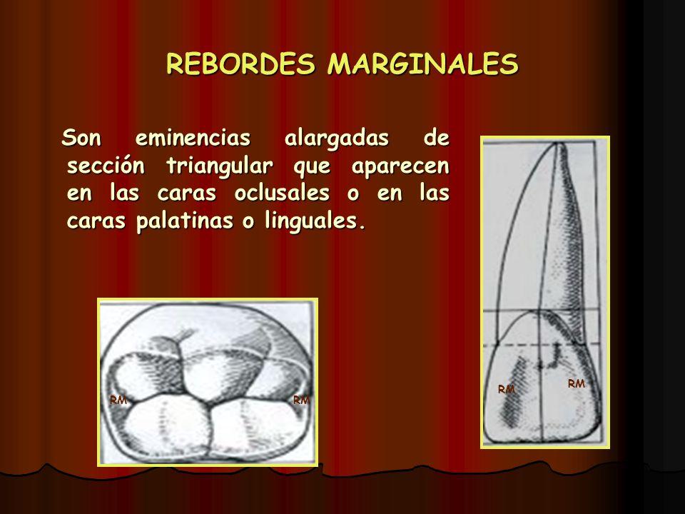 REBORDES MARGINALES Son eminencias alargadas de sección triangular que aparecen en las caras oclusales o en las caras palatinas o linguales.