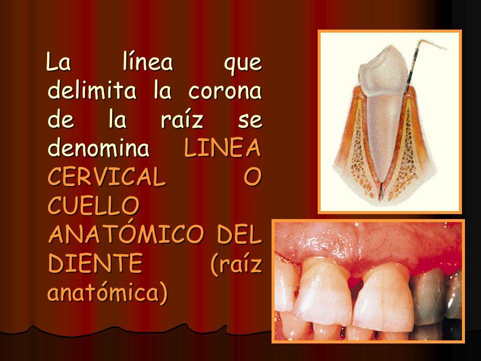 La línea que delimita la corona de la raíz se denomina LINEA CERVICAL O CUELLO ANATÓMICO DEL DIENTE (raíz anatómica)