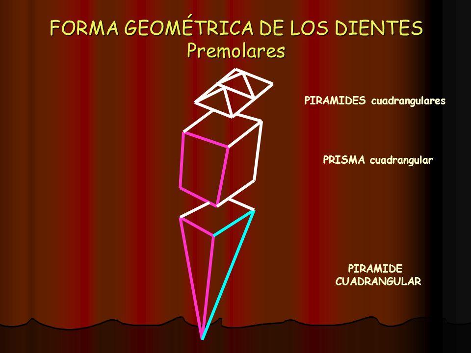 FORMA GEOMÉTRICA DE LOS DIENTES Premolares