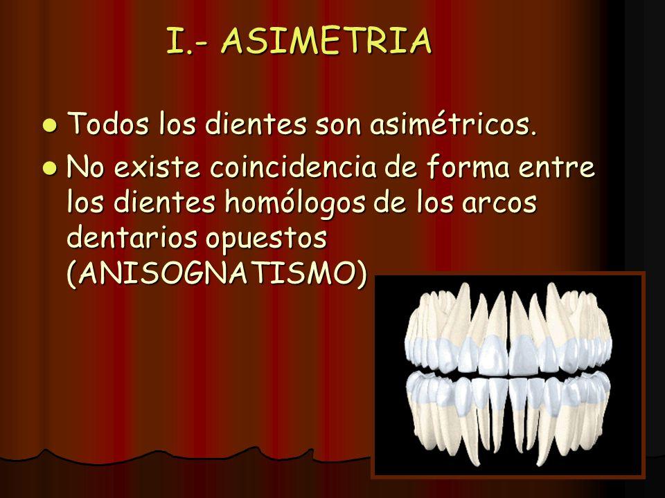 I.- ASIMETRIA Todos los dientes son asimétricos.