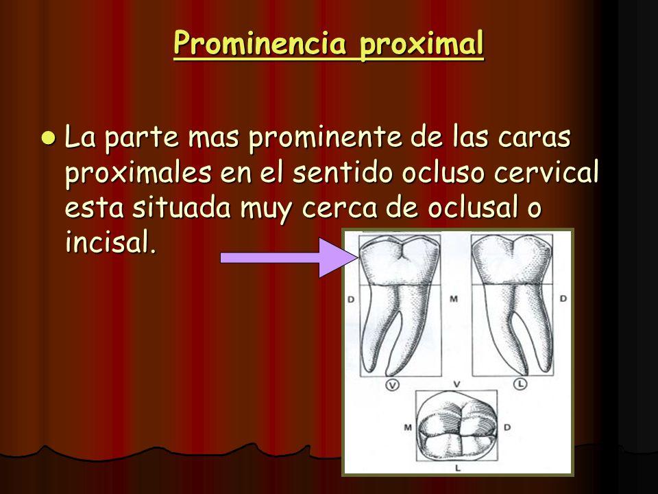 Prominencia proximal La parte mas prominente de las caras proximales en el sentido ocluso cervical esta situada muy cerca de oclusal o incisal.