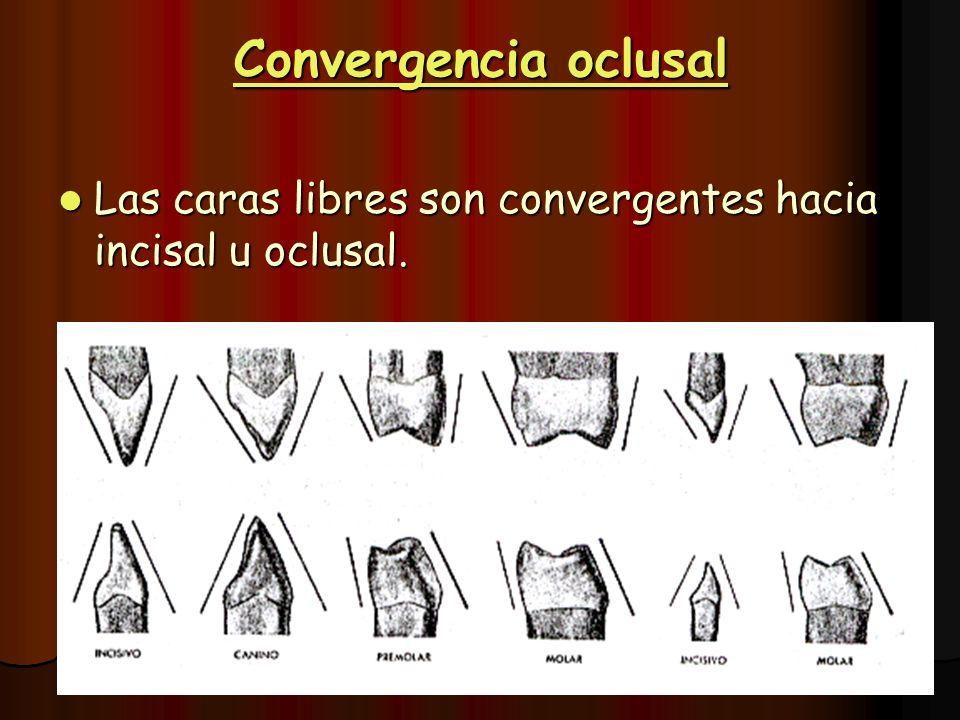 Convergencia oclusal Las caras libres son convergentes hacia incisal u oclusal.