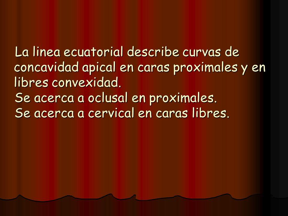 La linea ecuatorial describe curvas de concavidad apical en caras proximales y en libres convexidad.