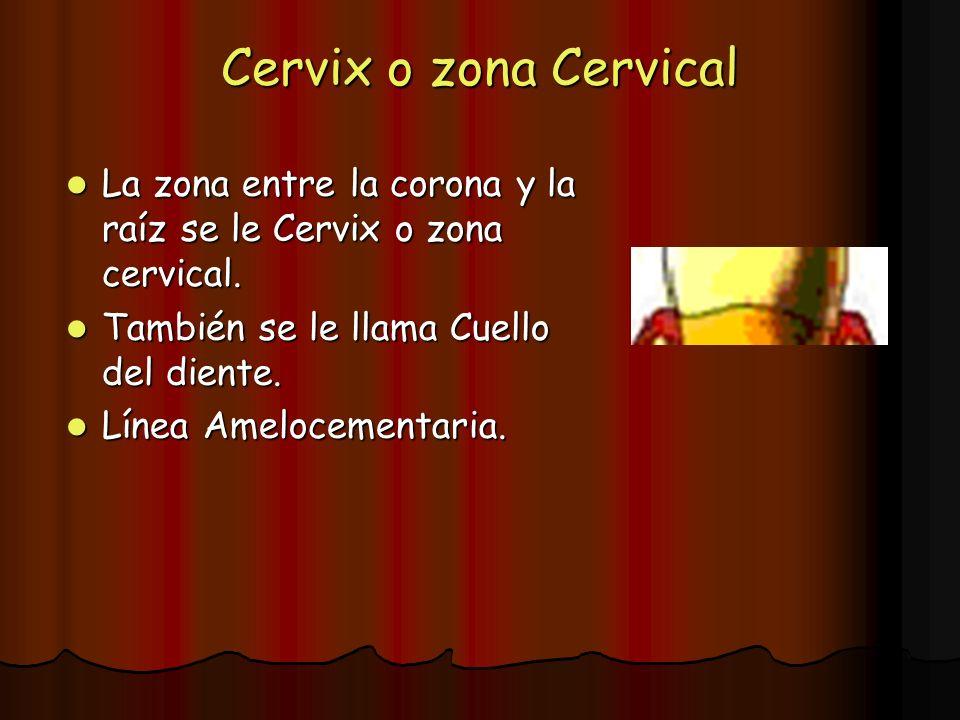 Cervix o zona CervicalLa zona entre la corona y la raíz se le Cervix o zona cervical. También se le llama Cuello del diente.