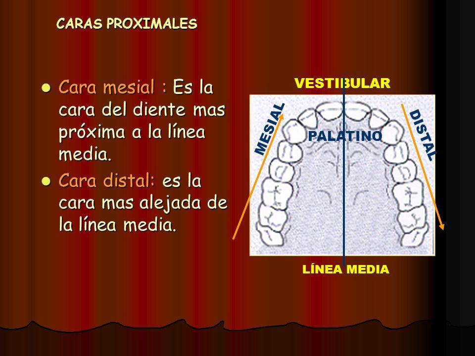 Cara mesial : Es la cara del diente mas próxima a la línea media.