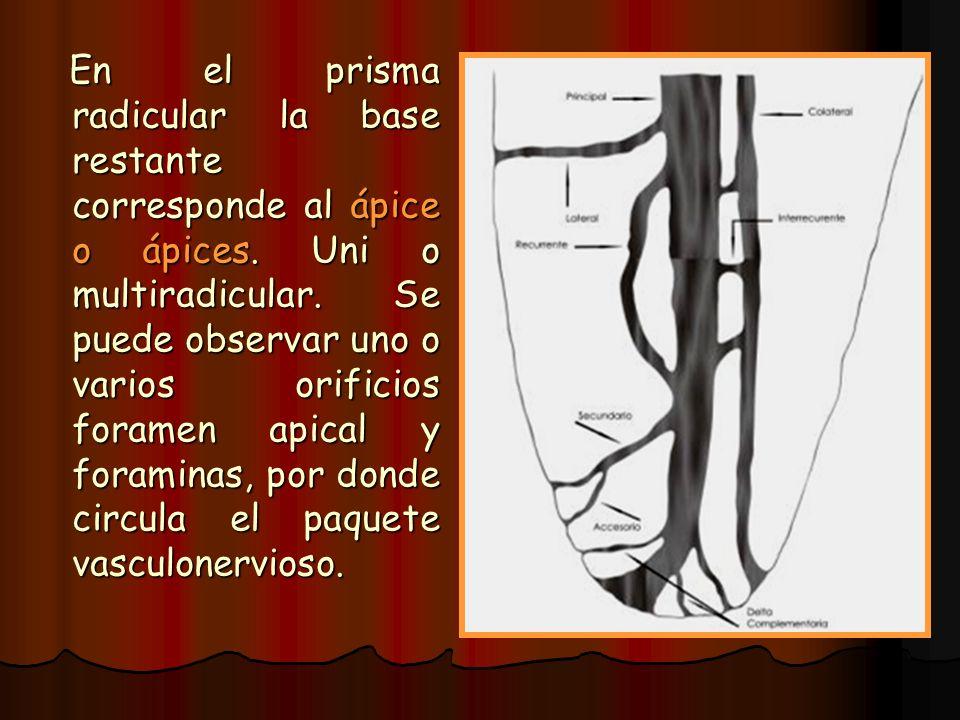 En el prisma radicular la base restante corresponde al ápice o ápices