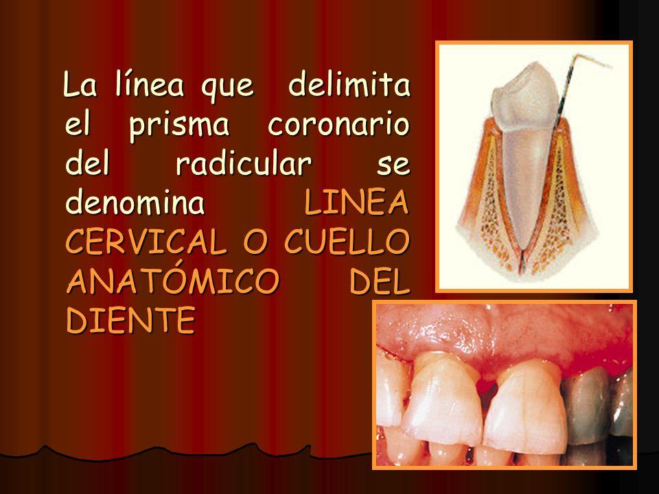La línea que delimita el prisma coronario del radicular se denomina LINEA CERVICAL O CUELLO ANATÓMICO DEL DIENTE