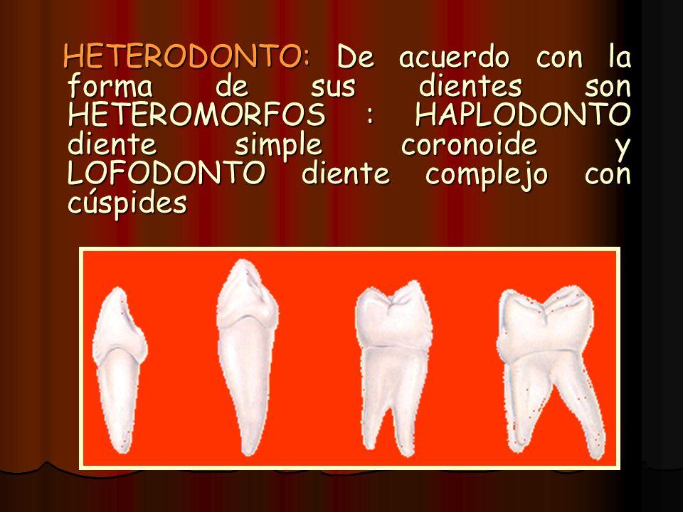 HETERODONTO: De acuerdo con la forma de sus dientes son HETEROMORFOS : HAPLODONTO diente simple coronoide y LOFODONTO diente complejo con cúspides
