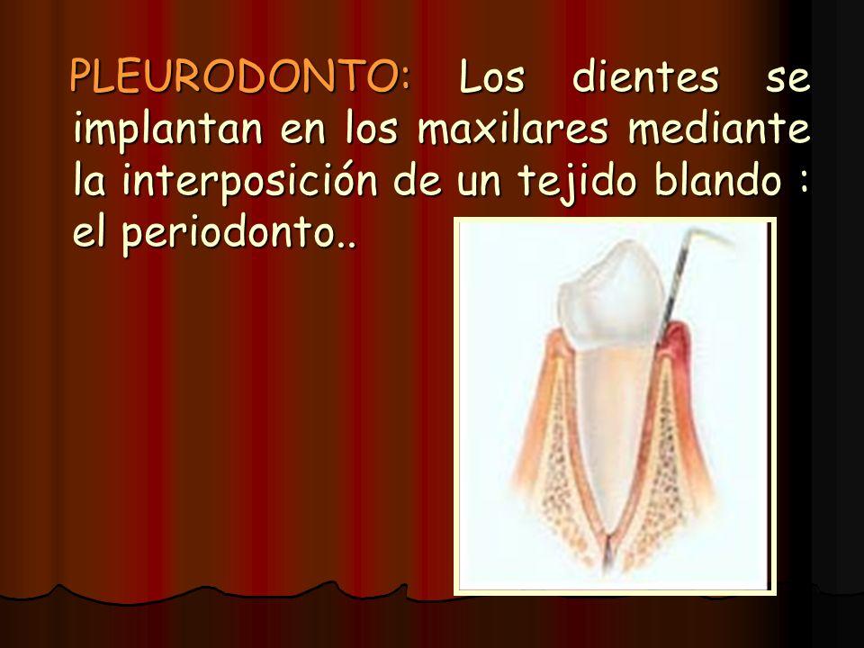 PLEURODONTO: Los dientes se implantan en los maxilares mediante la interposición de un tejido blando : el periodonto..