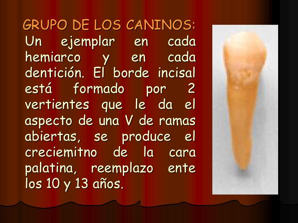 GRUPO DE LOS CANINOS: Un ejemplar en cada hemiarco y en cada dentición