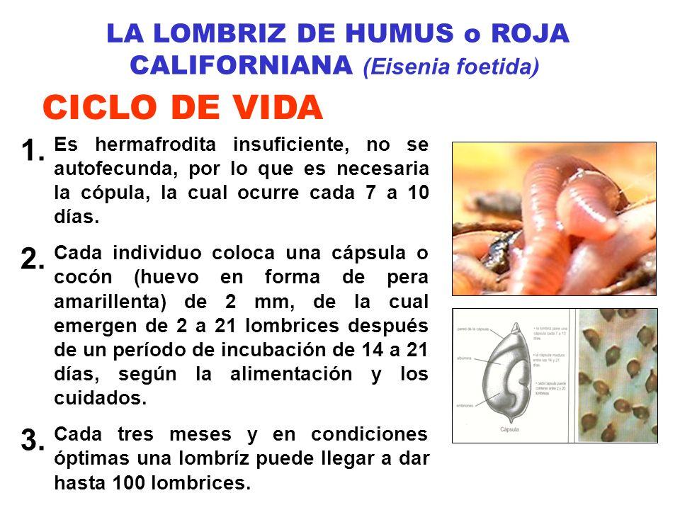 LA LOMBRIZ DE HUMUS o ROJA CALIFORNIANA (Eisenia foetida)