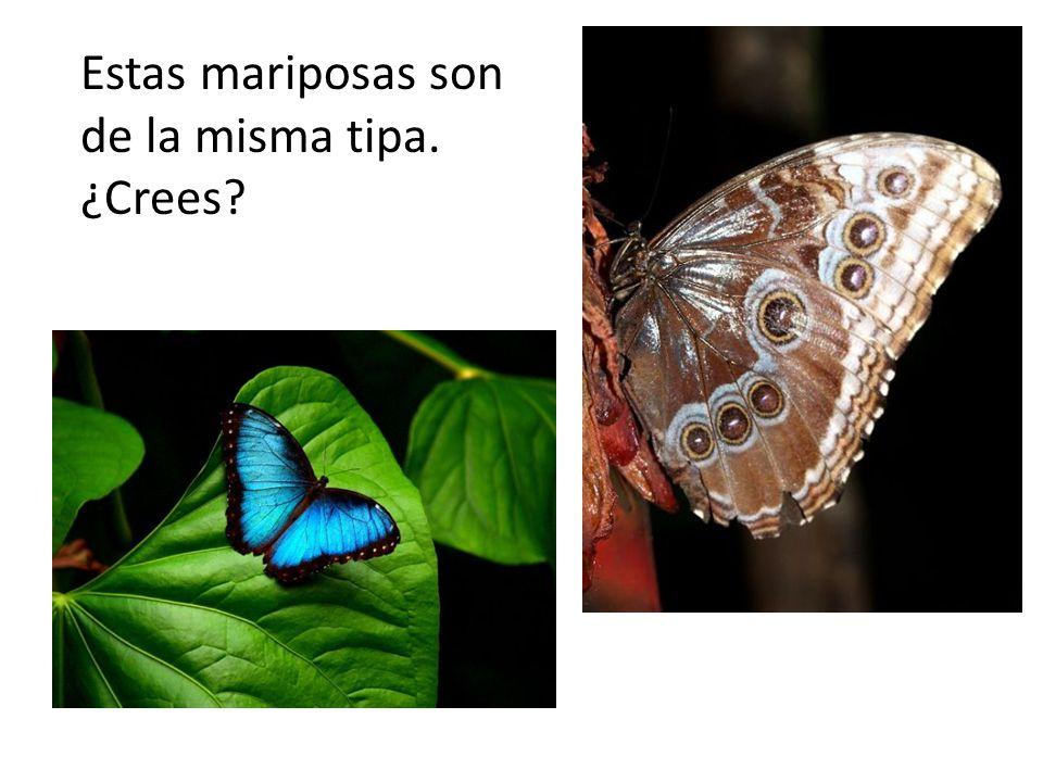 Estas mariposas son de la misma tipa. ¿Crees