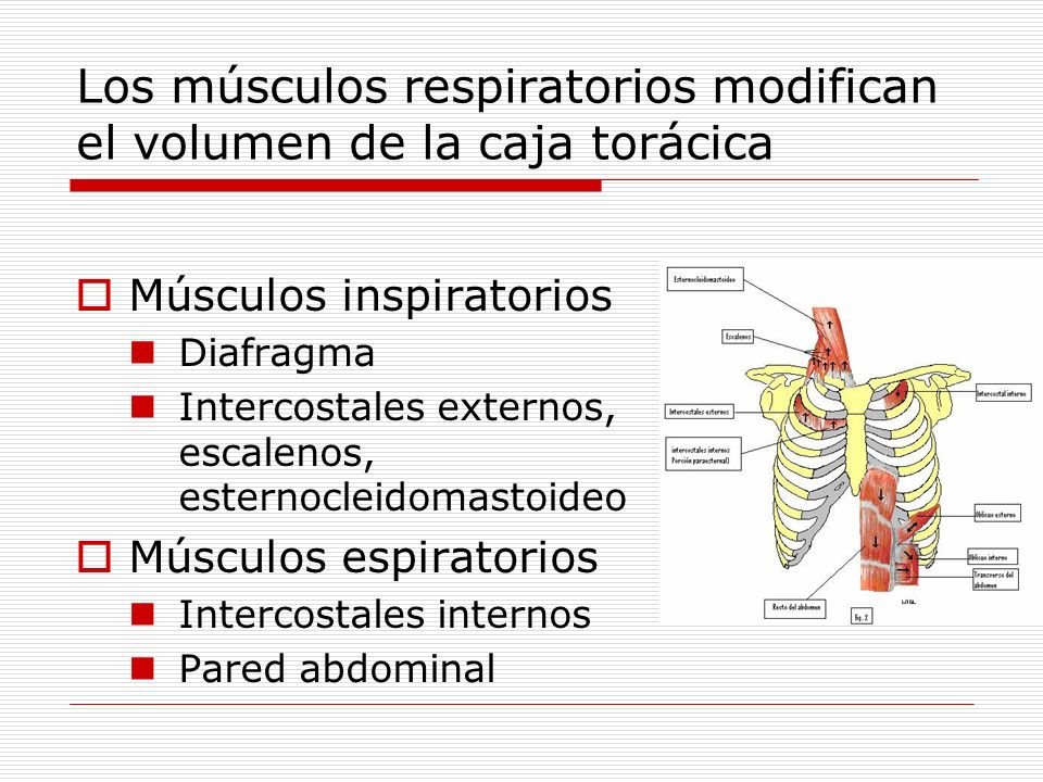 Los músculos respiratorios modifican el volumen de la caja torácica