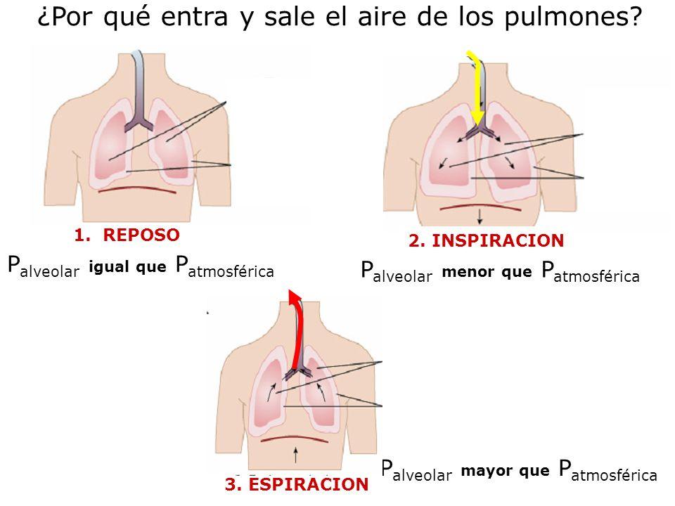 ¿Por qué entra y sale el aire de los pulmones