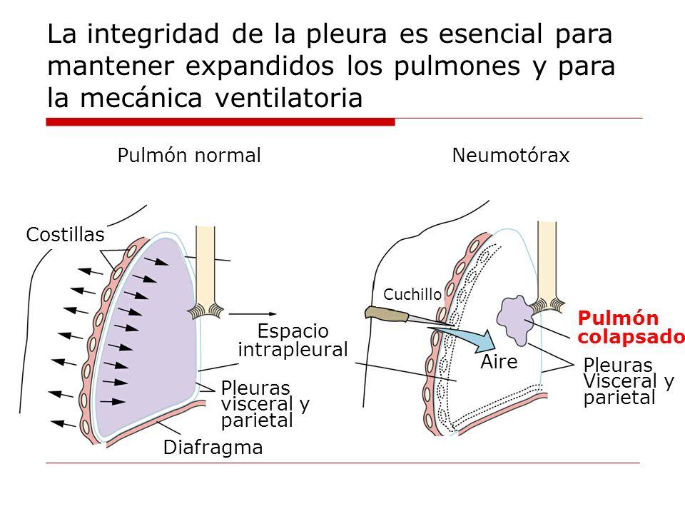 La integridad de la pleura es esencial para mantener expandidos los pulmones y para la mecánica ventilatoria
