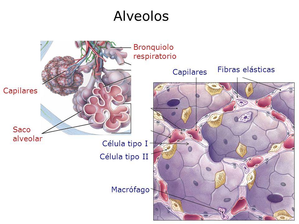 Alveolos Bronquiolo respiratorio Fibras elásticas Capilares Capilares