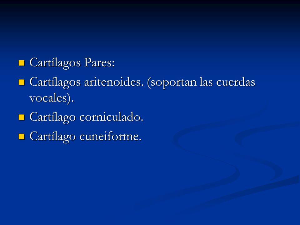 Cartílagos Pares: Cartílagos aritenoides. (soportan las cuerdas vocales).