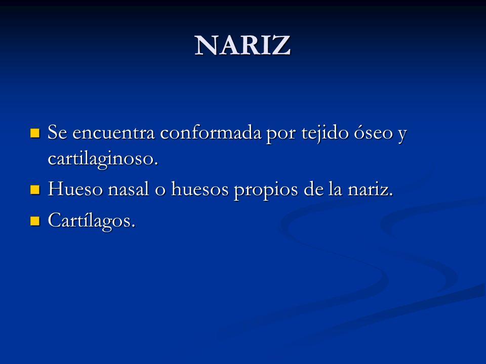 NARIZ Se encuentra conformada por tejido óseo y cartilaginoso.