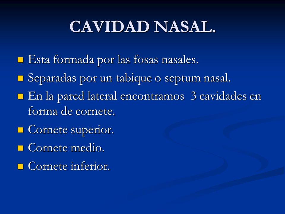 CAVIDAD NASAL. Esta formada por las fosas nasales.